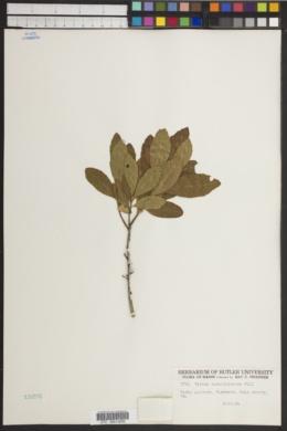Myrica carolinensis image