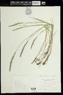 Image of Peyritschia pringlei