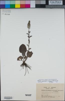 Veronica wyomingensis image