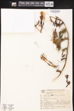 Image of Agave pedunculifera