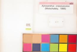 Xylosandrus crassiusculus image