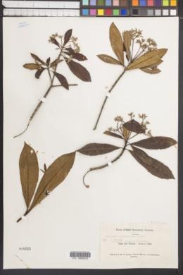 Image of Alstonia muelleriana