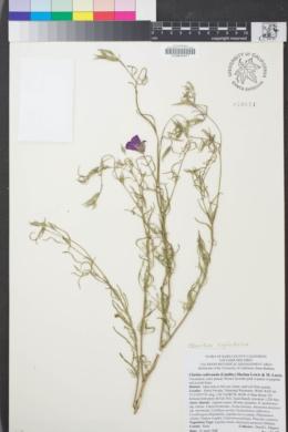 Image of Clarkia cylindrica