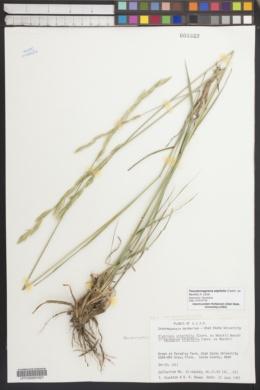 Image of Pseudoroegneria stipifolia