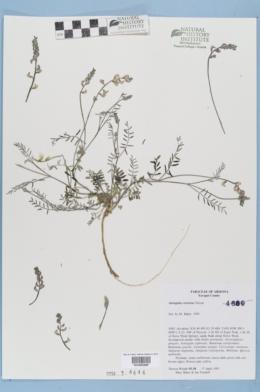 Astragalus recurvus image