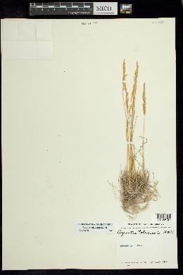 Agrostis tolucensis image