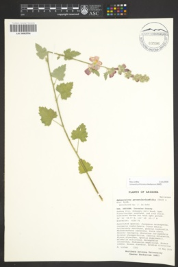 Sphaeralcea grossulariifolia image