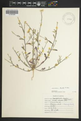 Physaria tenella image