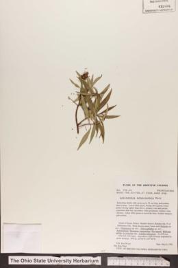 Image of Lysimachia scopulensis