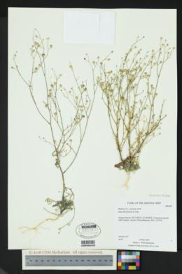 Gilia flavocincta image