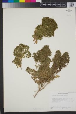Image of Galium buxifolium