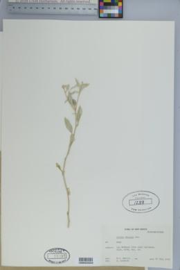 Croton dioicus image