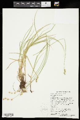 Carex brevior image