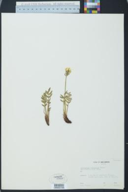 Image of Astragalus umbellatus