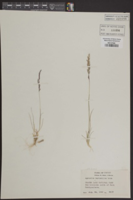 Image of Agrostis variabilis