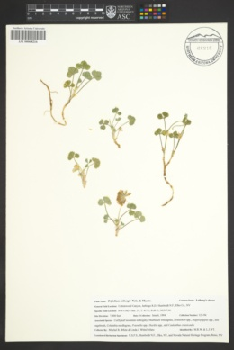Image of Trifolium leibergii