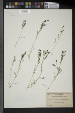 Image of Astragalus gambellianus