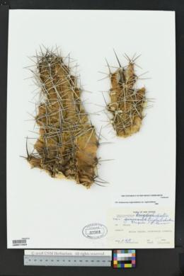 Echinocereus triglochidiatus var. triglochidiatus image
