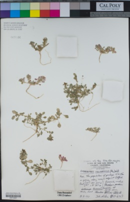Amaranthus californicus image
