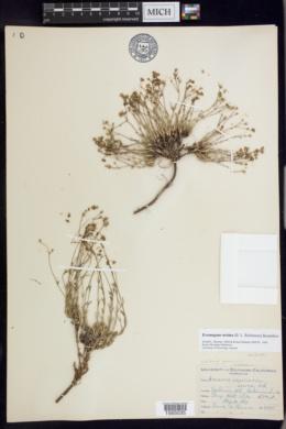Image of Arenaria ursina