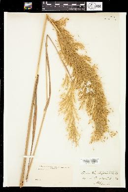 Erianthus saccharoides image