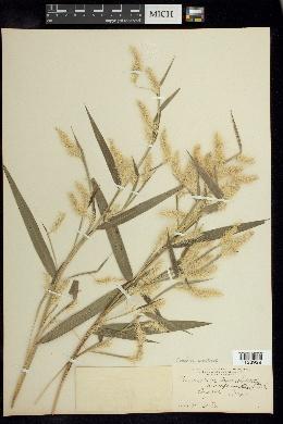 Cenchrus prolificus image