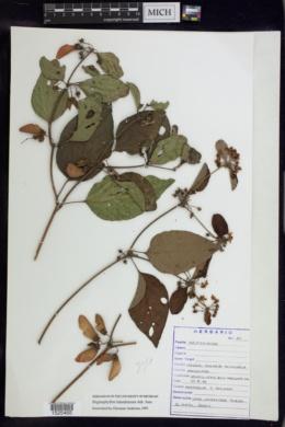Stigmaphyllon lalandianum image
