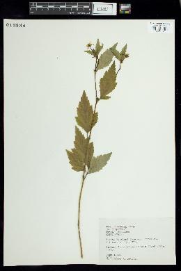 Geum canadense var. camporum image