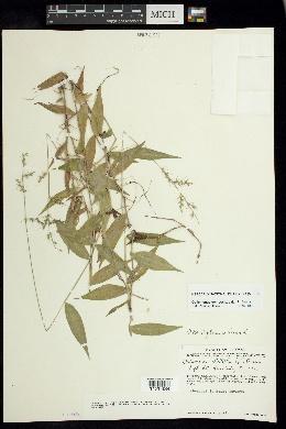 Oplismenus compositus image