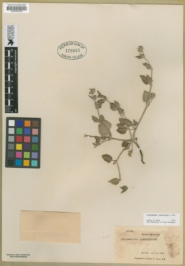 Image of Acleisanthes crassifolia