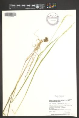 Elymus x pseudorepens image