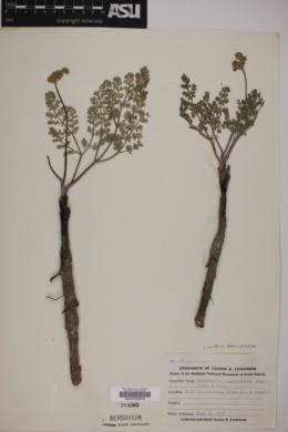 Image of Cogswellia foeniculacea