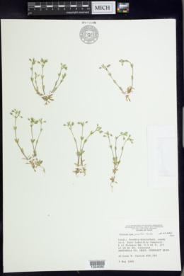 Cerastium pumilum image