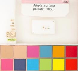 Image of Dalotia coriaria