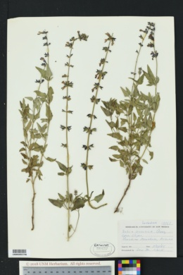 Salvia arizonica image