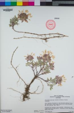 Monardella nana image