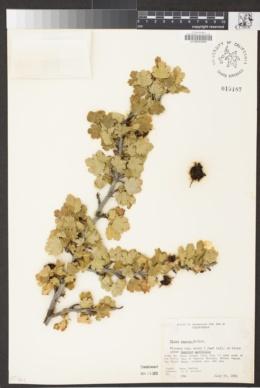 Ribes amarum image