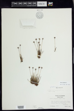 Juncus triglumis image