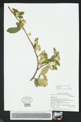 Image of Cotoneaster lacteus