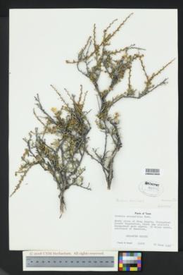 Image of Purshia ericifolia