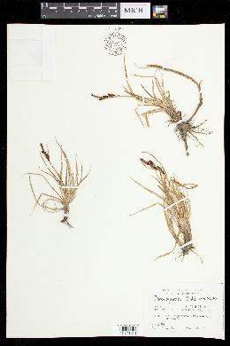 Carex aquatilis image