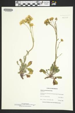 Packera neomexicana var. mutabilis image