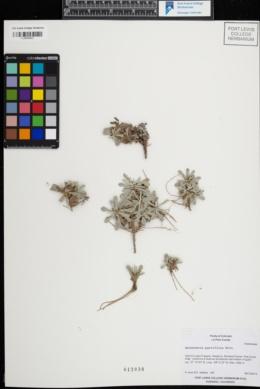 Image of Antennaria parviflora