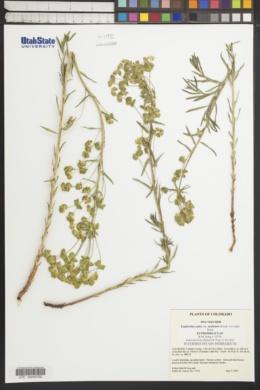 Euphorbia esula var. uralensis image