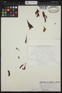Phaeostrophion irregulare image