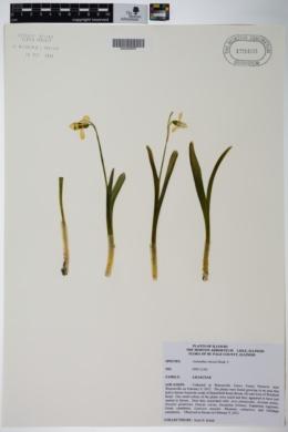 Galanthus elwesii image