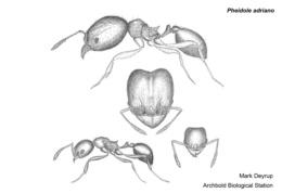 Image of Pheidole adrianoi