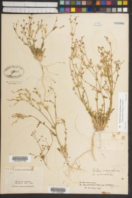 Gilia ochroleuca subsp. ochroleuca image