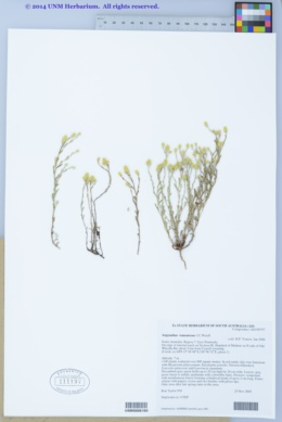 Image of Angianthus tomentosus