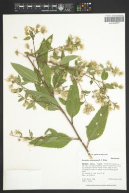 Image of Brickellia nutanticeps